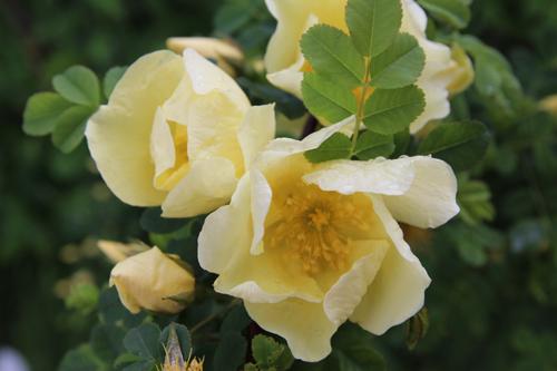 erste bl hende rosen ein gelber rosenbusch m nchen. Black Bedroom Furniture Sets. Home Design Ideas