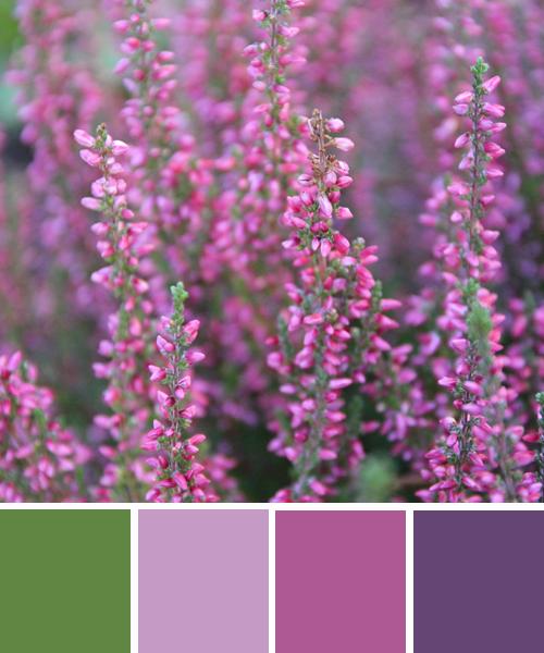 farbimpressionen-Violett-Erika-Farben-Herbst